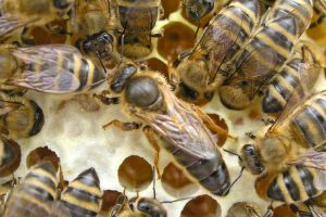 Bee-Family Bienenkönigin
