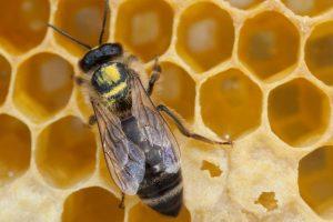 Bee-Family Biene mit Blütenstaub